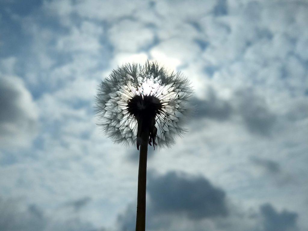 Een paardenbloem van onderaf gezien tegen de zon in. Een nieuw perspectief. Een thought leader bekijkt gangbare elementen vanuit een nieuwe perspectief